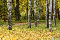 Árvores de vidoeiro no parque com folhas de plátano Fotografia de Stock Royalty Free