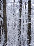 Árvores do inverno Imagens de Stock Royalty Free