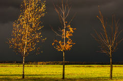 Árvores do vidoeiro e de bordo nas folhas do amarelo no fundo de nuvens tormentosos Fotos de Stock
