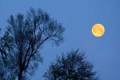Árvores e Lua cheia mostradas em silhueta Foto de Stock
