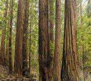 Árvores gigantes da sequoia vermelha de Califórnia, Muir Woods, moinho Vallley CAl Imagens de Stock Royalty Free