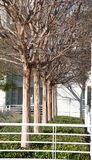 Árvores Leafless na linha Fotografia de Stock Royalty Free