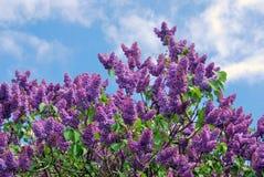Árvores lilás Jardim lilás recolhido em Moscou Imagens de Stock