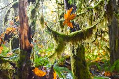 ?rvores musgosos na floresta ?mida fotografia de stock