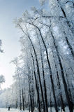 Árvores na manhã Fotografia de Stock Royalty Free