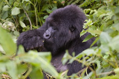 Rwanda Gorilla eating. A Gorilla eating in the forest of Volcanoes National Park, Rwanda stock photos