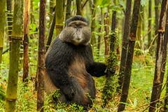 Rwandan golden monkey sitting in the middle of bamboo forest, Rw Stock Photography