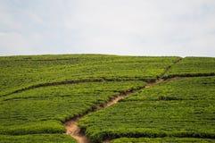 Rwandese Theeaanplantingen royalty-vrije stock foto's