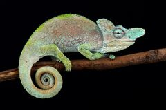Rwenzori plate-nosed chameleon Kinyongia xenorhina. The Rwenzori plate-nosed chameleon Kinyongia xenorhina is a beautiful lizard species found between Uganda and stock photos
