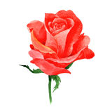 RWildflower roses flower in a watercolor style isolated. Stock Photos