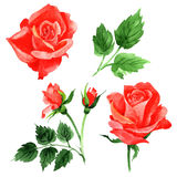 RWildflower roses flower in a watercolor style isolated. Royalty Free Stock Photo