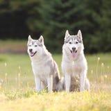 Rwo beautiful siberian husky dogs Royalty Free Stock Photo