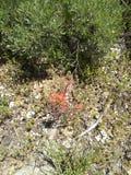 Rwth della copertura al suolo della spazzola di dolore di Indain fotografia stock