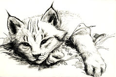 ryś rudy ilustracja wektor