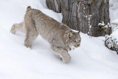 Ryś rudy W śniegu Obrazy Royalty Free