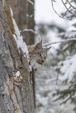 Ryś rudy W śniegu Zdjęcie Royalty Free