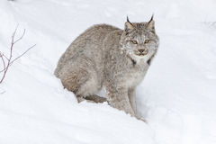 Ryś rudy W śniegu obraz royalty free