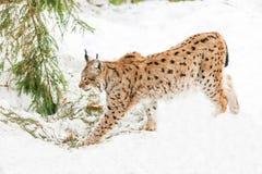 Ryś w śniegu Zdjęcie Stock