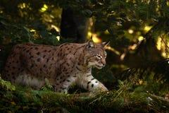 Ryś w lasowym Dzikim kota rysiu w natura lasu siedlisku Eurazjatycki ryś w lasu, brzozy i sosny lasowym rysiu, chodzi w t Obrazy Stock