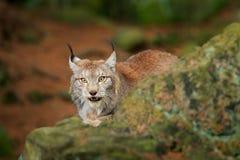 Ryś w zielonej lasowej przyrody scenie od natury Chodzący Eurazjatycki ryś, zwierzęcy zachowanie w siedlisku Dziki kot od Niemcy  obrazy stock