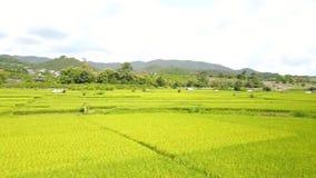 ryż góra i pole zbiory wideo