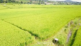 ryż góra i pole zbiory
