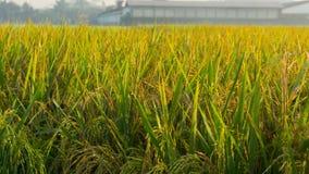 Ryż odpowiada padi jaskrawego zakończenie up w ranku Zdjęcia Stock