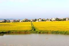 ryż pola dziewięć i domy Obraz Royalty Free