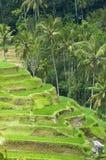 ryż tarasy obrazy stock