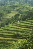 ryż tarasy