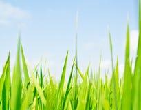 Ryż trawiaści ostrza Obraz Stock