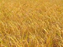 ryż w warunkach polowych Obrazy Stock
