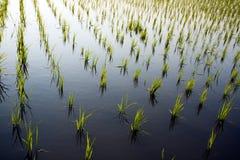 ryż w warunkach polowych fotografia stock