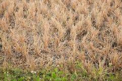 Ryżowa ścierń Zdjęcia Royalty Free