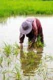 Ryżowa średniorolna praca mocno Zdjęcie Stock
