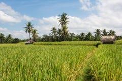 Ryżowa kultywacja na Bali, Indonezja obrazy stock