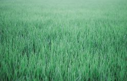 Ryżowa roślina zdjęcia stock