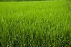 Ryżowa roślina obrazy royalty free