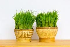 Ryżowa roślina Zdjęcie Royalty Free