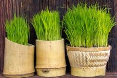 Ryżowa roślina Obraz Stock