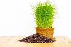 Ryżowa roślina Obraz Royalty Free
