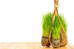 Ryżowa roślina Zdjęcie Stock