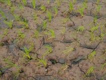 Ryżowa roślina i ziemi pęknięcie, Zdjęcie Stock