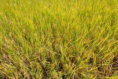 Ryżowa roślina w irlandczyka polu, przygotowywa zbierać zdjęcie stock
