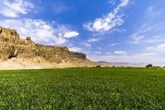 Ryżowa roślina w pustyni Obraz Stock