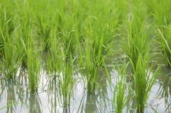 Ryżowe rośliny Zdjęcia Stock