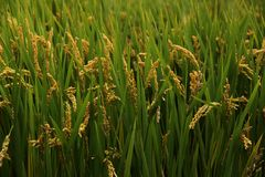 Ryżowe rośliny Obraz Stock