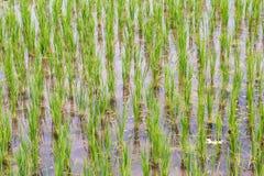 Ryżowe rośliny Zdjęcie Stock