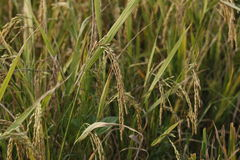 Ryżowe rośliny Tuż przed żniwem Zdjęcia Stock
