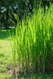 Ryżowi drzewa (wierzchołek zgłębiać) Obrazy Royalty Free